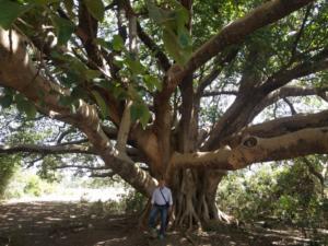 013-Grande albero di sicomoro